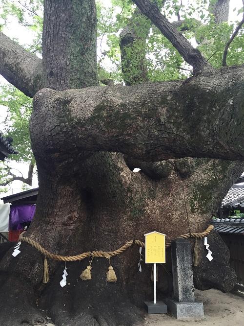 三島神社 楠